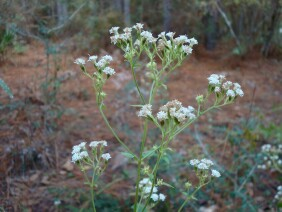 Ageratina aromatica Lesser Snakeroot
