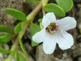 Bacopa monnieri Herb of Grace