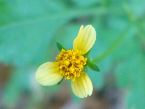 Bidens bipinnata Spanish Needles