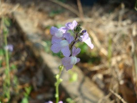 Nuttallanthus canadensis Toadflax