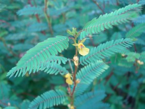 Chamaecrista nictitans Sensitive Partridge Pea