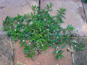 Diodia teres Virginia Buttonweed