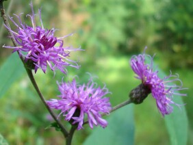 Vernonia gigantea Giant Ironweed