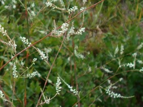 Polygonella gracilis Tall Jointweed
