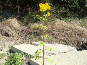Packera glabella Butterweed