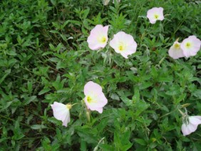 Oenothera speciosa Showy Evening Primrose