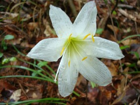 Zephyranthes atamasca Rainlily