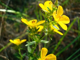 Rhexia lutea Meadow Beauty