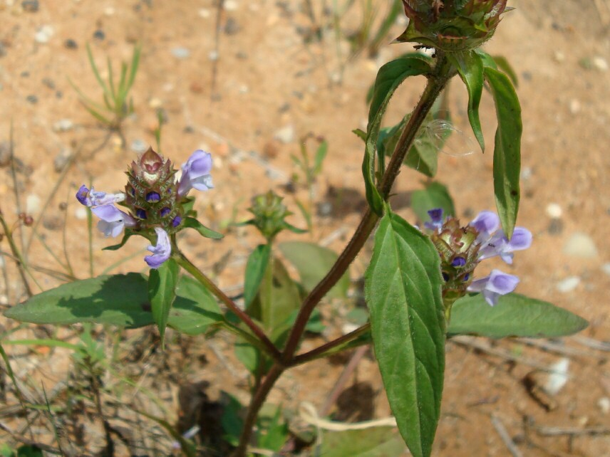 Selfheal heal all or common selfheal is a member of the mint family