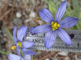 Sisyrinchium angustifolium Narrowleaf Blue-eyed Grass