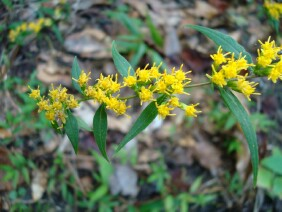 Solidago caesia Wreath Goldenrod