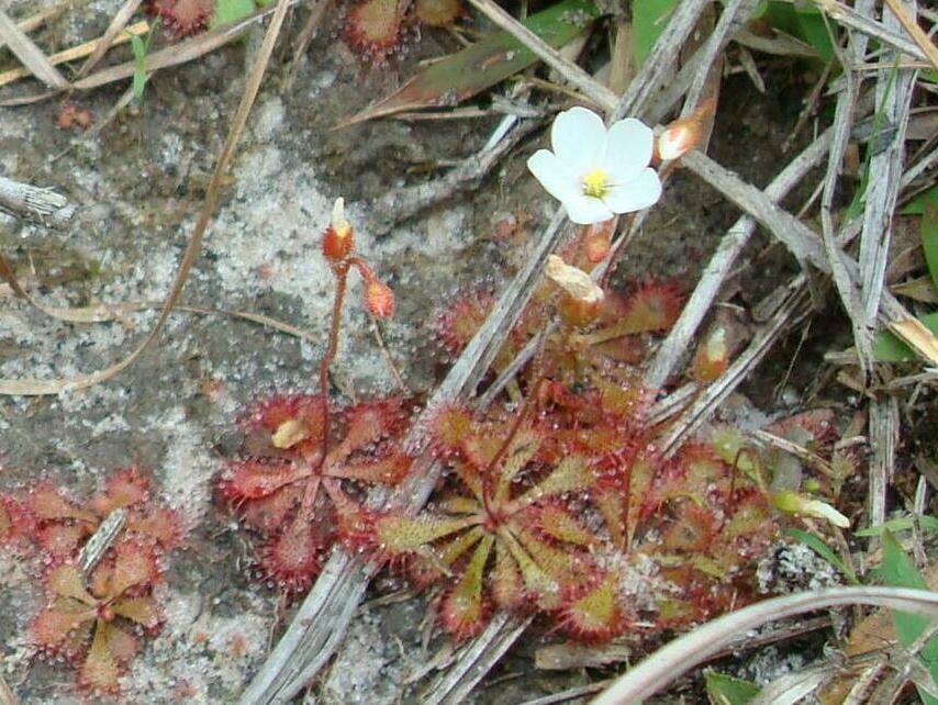 Sundew Flower Dwarf Sundew
