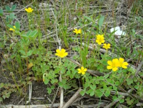 Oxalis stricta Yellow Woodsorrel